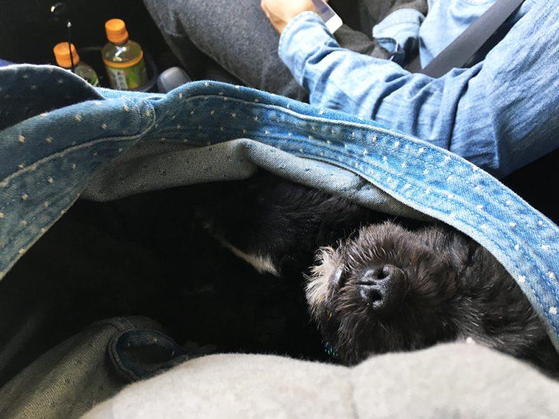 お昼寝中の保護犬ツツ